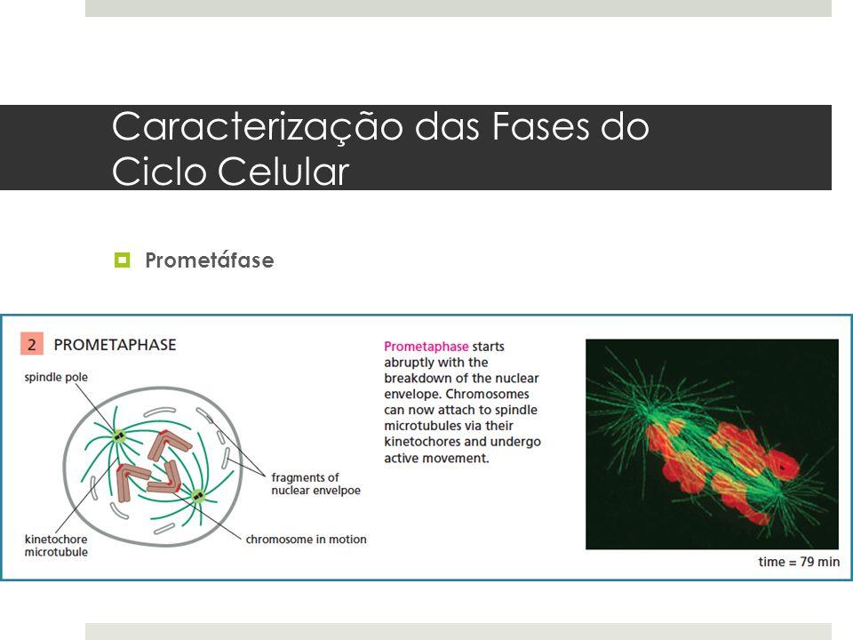 Caracterização das Fases do Ciclo Celular Prometáfase