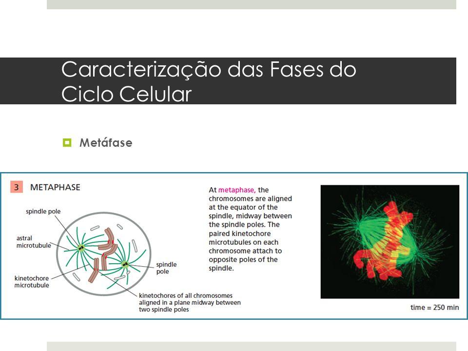 Caracterização das Fases do Ciclo Celular Metáfase
