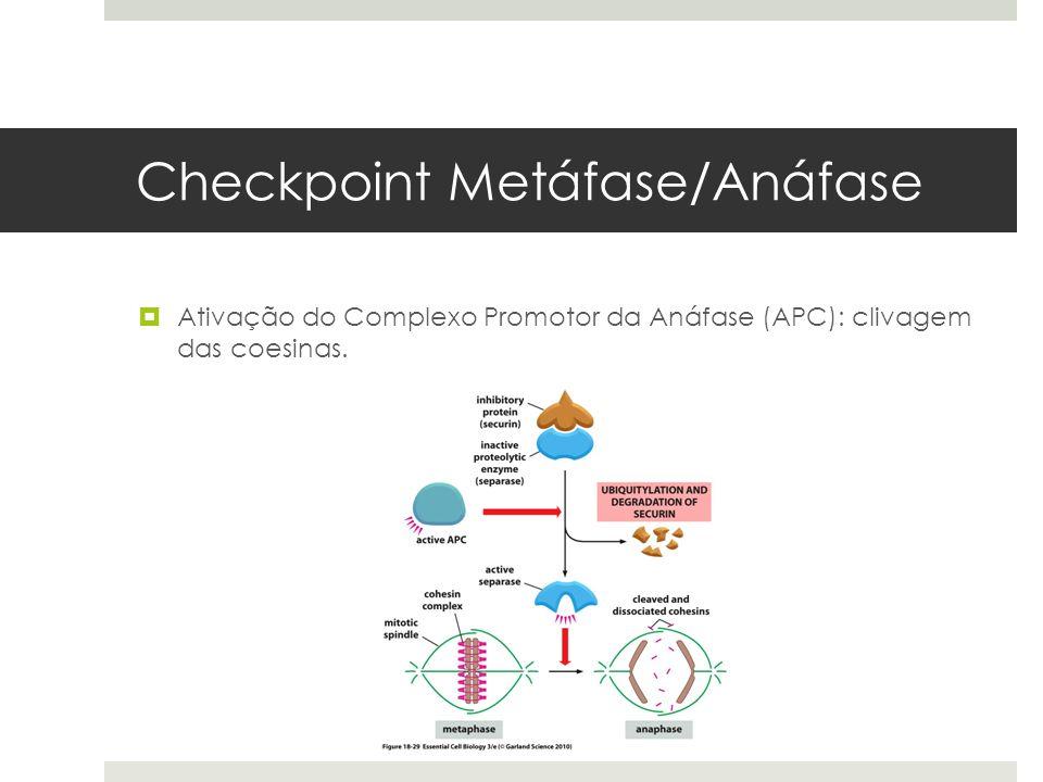Checkpoint Metáfase/Anáfase Ativação do Complexo Promotor da Anáfase (APC): clivagem das coesinas.