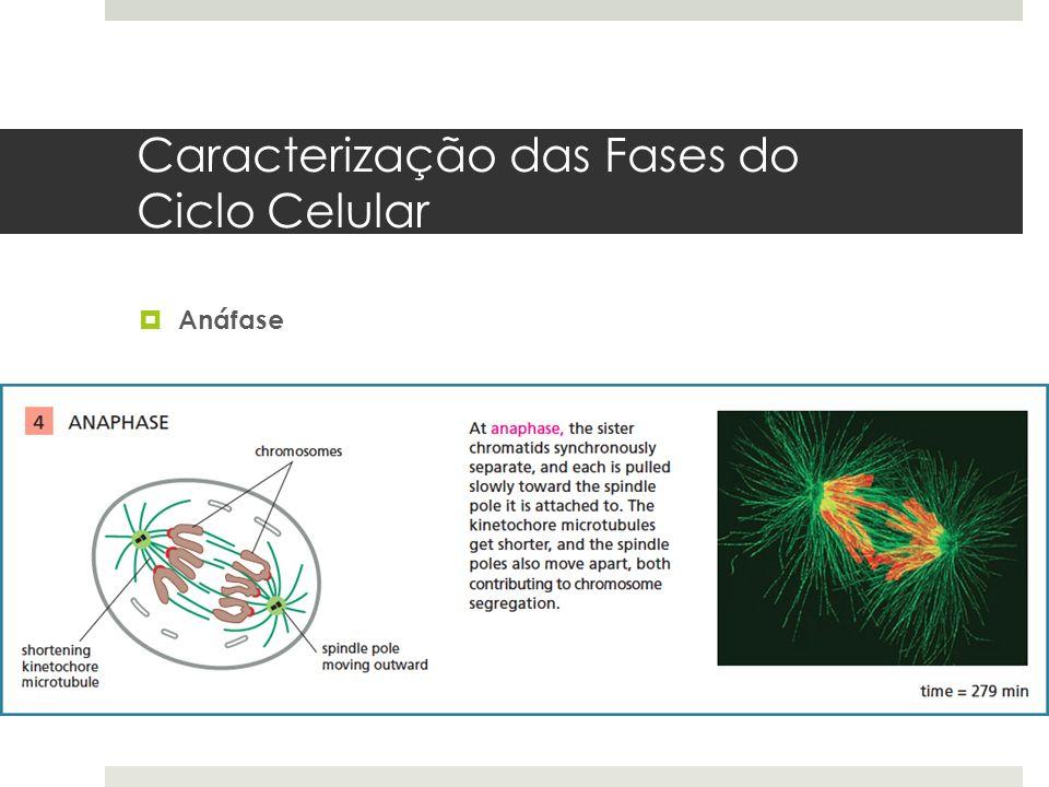 Caracterização das Fases do Ciclo Celular Anáfase