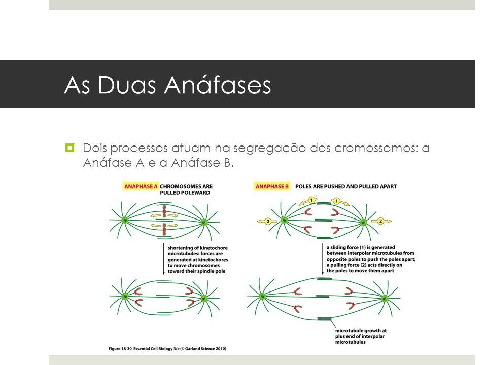As Duas Anáfases Dois processos atuam na segregação dos cromossomos: a Anáfase A e a Anáfase B.