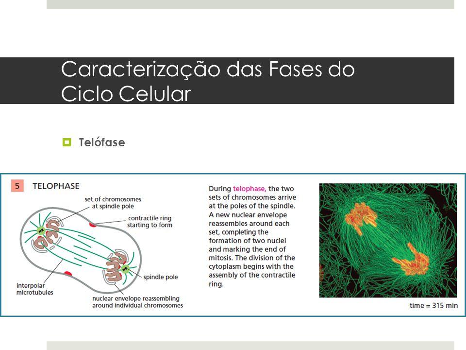 Caracterização das Fases do Ciclo Celular Telófase