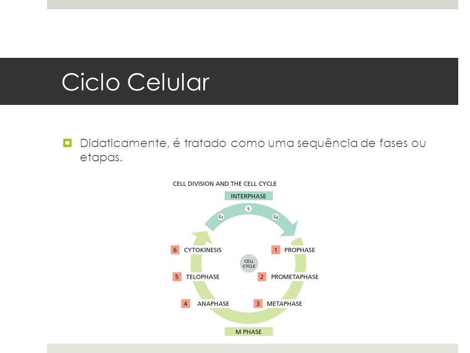 Ciclo Celular Didaticamente, é tratado como uma sequência de fases ou etapas.