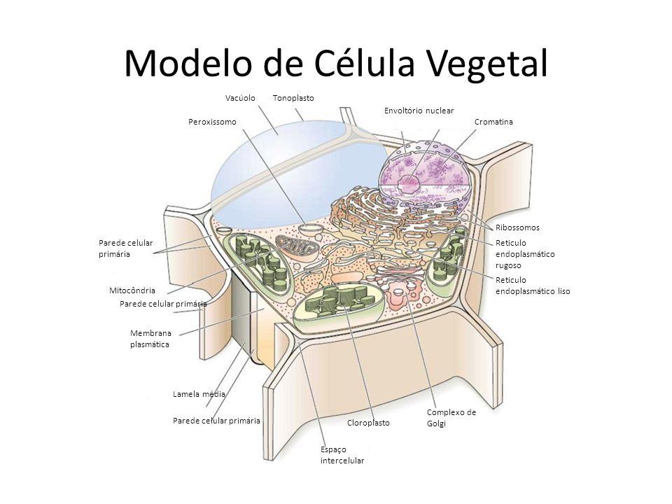 Modelo de Célula Vegetal Parede celular primária Mitocôndria Parede celular primária Peroxissomo VacúoloTonoplasto Lamela média Parede celular primári
