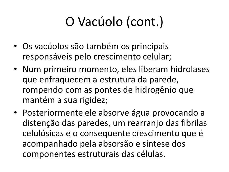 O Vacúolo (cont.) Os vacúolos são também os principais responsáveis pelo crescimento celular; Num primeiro momento, eles liberam hidrolases que enfraq