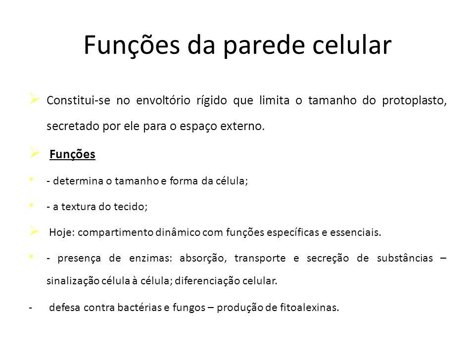 Funções da parede celular Constitui-se no envoltório rígido que limita o tamanho do protoplasto, secretado por ele para o espaço externo. Funções - de