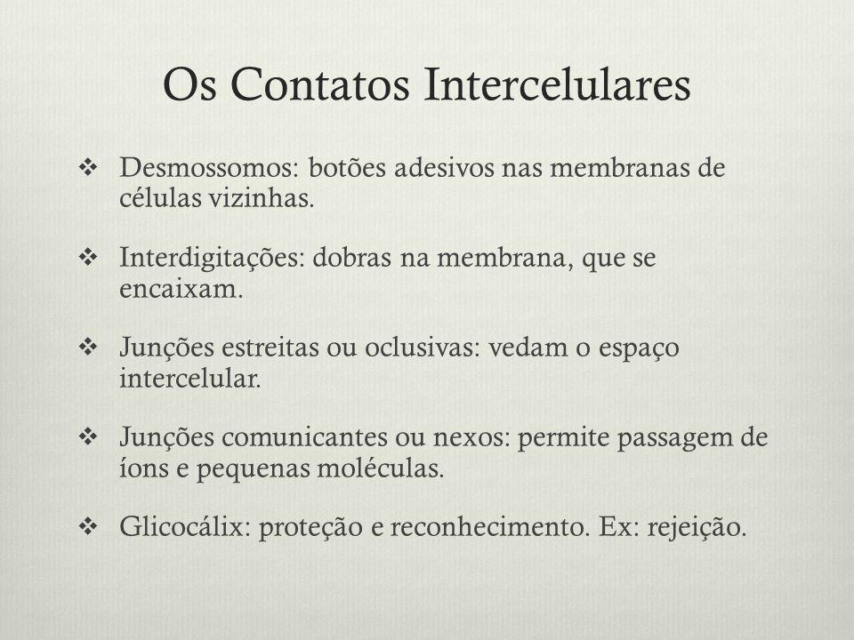 Os Contatos Intercelulares Desmossomos: botões adesivos nas membranas de células vizinhas. Interdigitações: dobras na membrana, que se encaixam. Junçõ