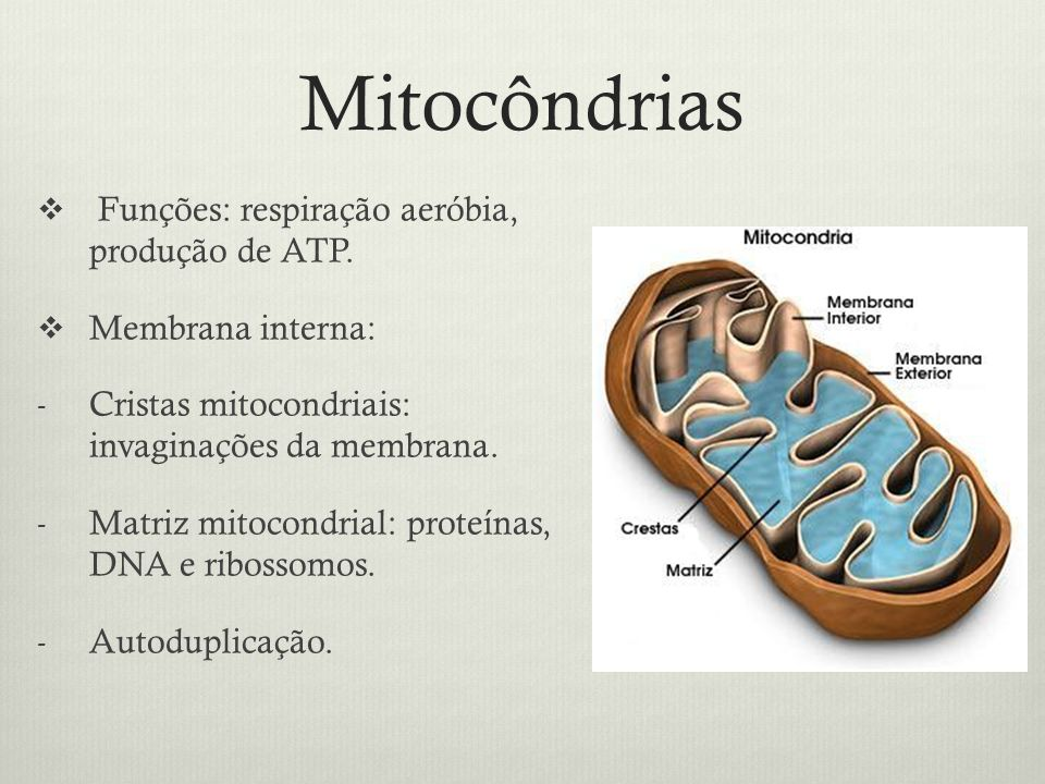 Mitocôndrias Funções: respiração aeróbia, produção de ATP. Membrana interna: - Cristas mitocondriais: invaginações da membrana. - Matriz mitocondrial: