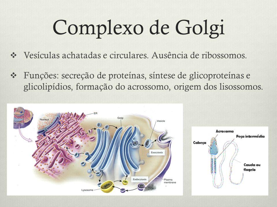 Complexo de Golgi Vesículas achatadas e circulares. Ausência de ribossomos. Funções: secreção de proteínas, síntese de glicoproteínas e glicolipídios,