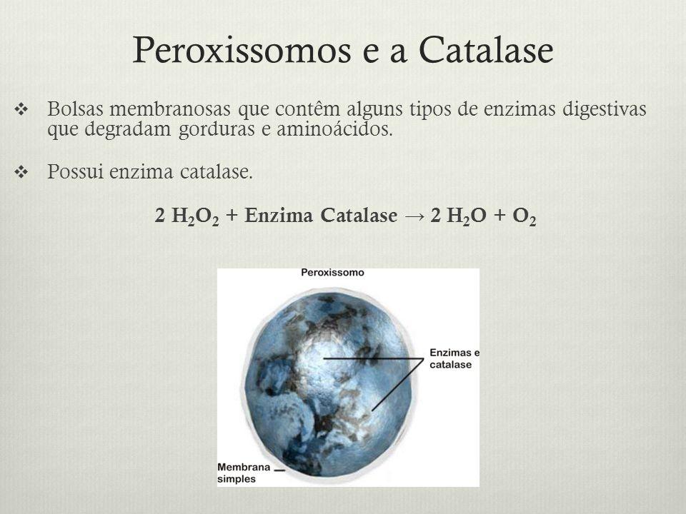 Peroxissomos e a Catalase Bolsas membranosas que contêm alguns tipos de enzimas digestivas que degradam gorduras e aminoácidos. Possui enzima catalase