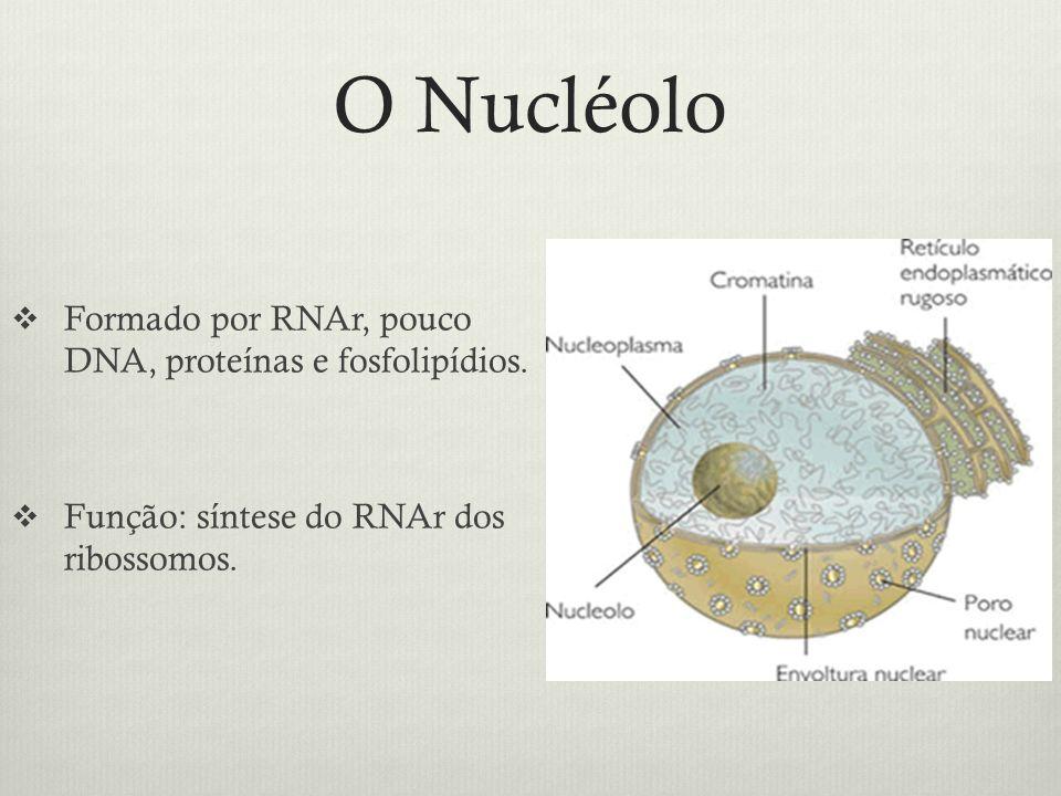 O Nucléolo Formado por RNAr, pouco DNA, proteínas e fosfolipídios. Função: síntese do RNAr dos ribossomos.