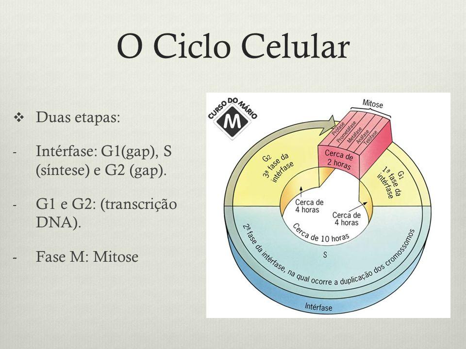 O Ciclo Celular Duas etapas: - Intérfase: G1(gap), S (síntese) e G2 (gap). - G1 e G2: (transcrição DNA). - Fase M: Mitose
