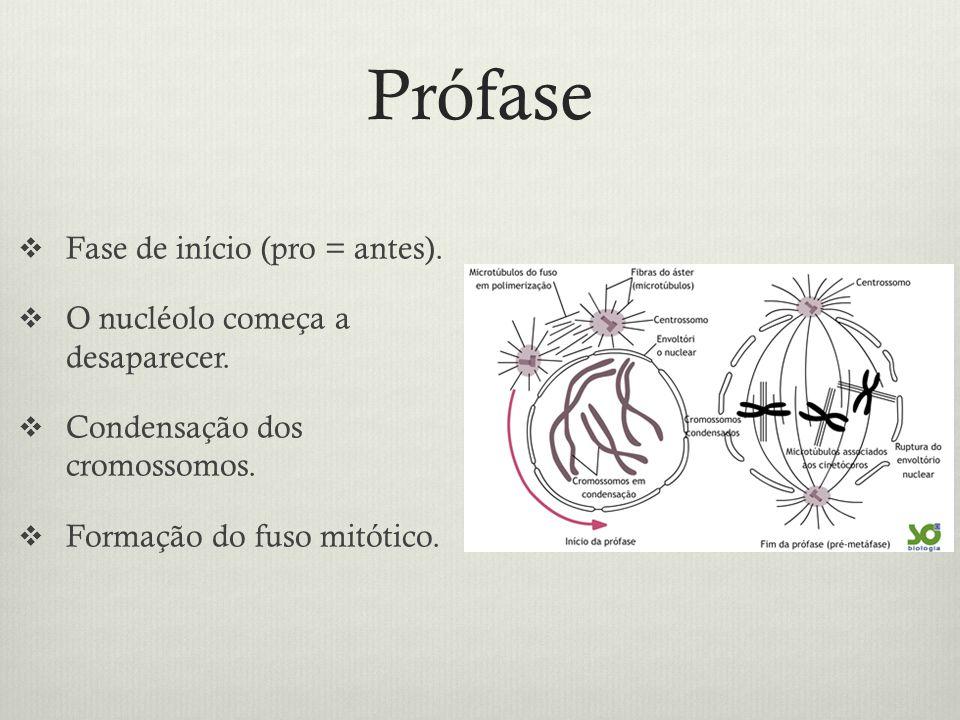 Prófase Fase de início (pro = antes). O nucléolo começa a desaparecer. Condensação dos cromossomos. Formação do fuso mitótico.