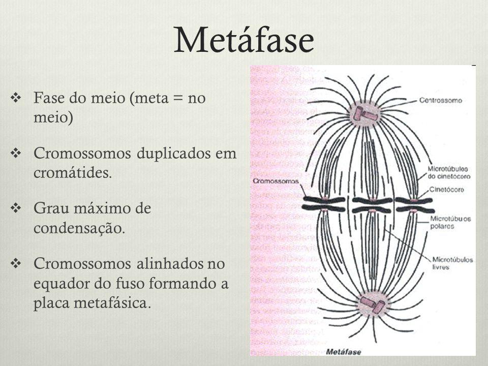 Metáfase Fase do meio (meta = no meio) Cromossomos duplicados em cromátides. Grau máximo de condensação. Cromossomos alinhados no equador do fuso form