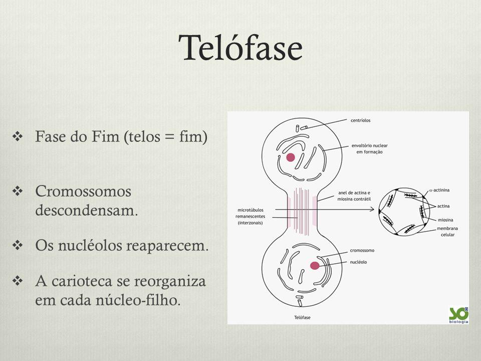 Telófase Fase do Fim (telos = fim) Cromossomos descondensam. Os nucléolos reaparecem. A carioteca se reorganiza em cada núcleo-filho.