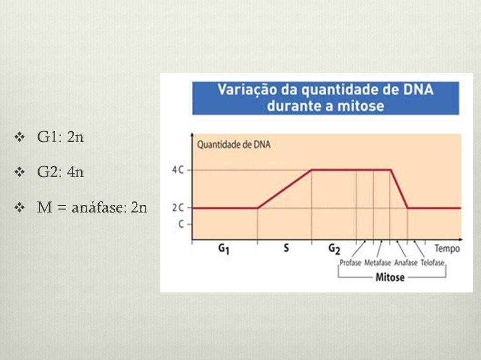 G1: 2n G2: 4n M = anáfase: 2n