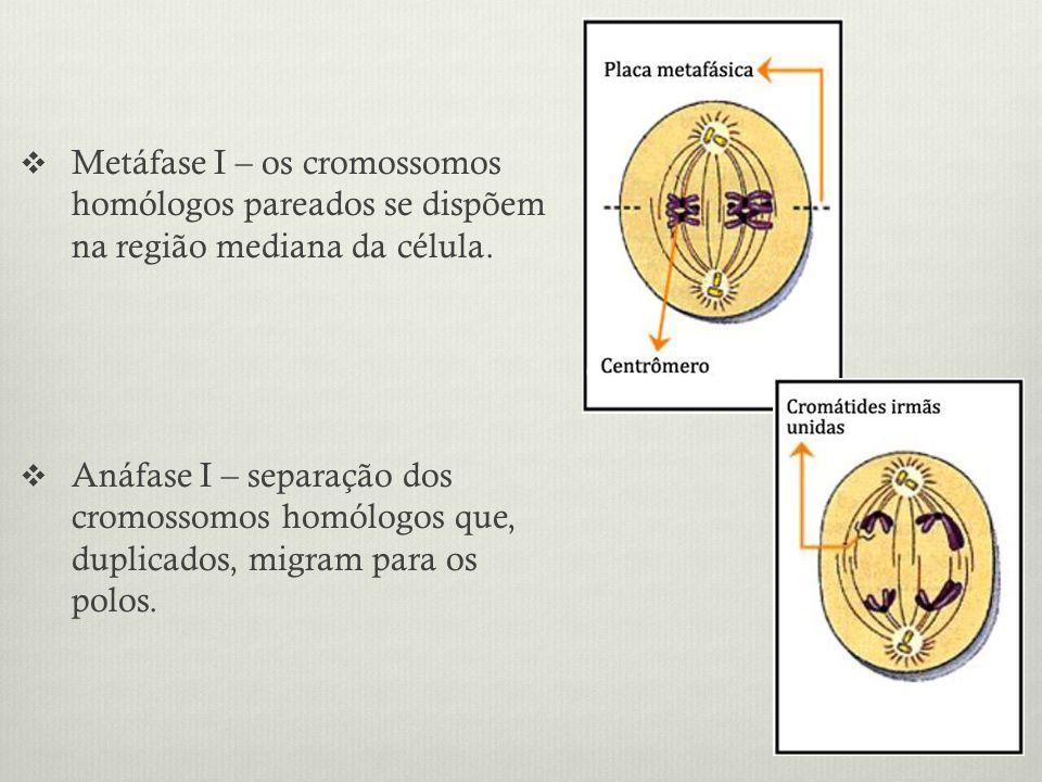 Metáfase I – os cromossomos homólogos pareados se dispõem na região mediana da célula. Anáfase I – separação dos cromossomos homólogos que, duplicados