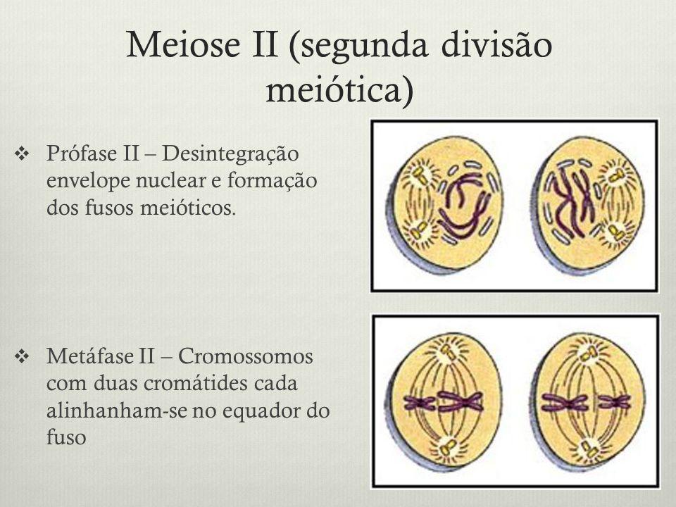 Meiose II (segunda divisão meiótica) Prófase II – Desintegração envelope nuclear e formação dos fusos meióticos. Metáfase II – Cromossomos com duas cr