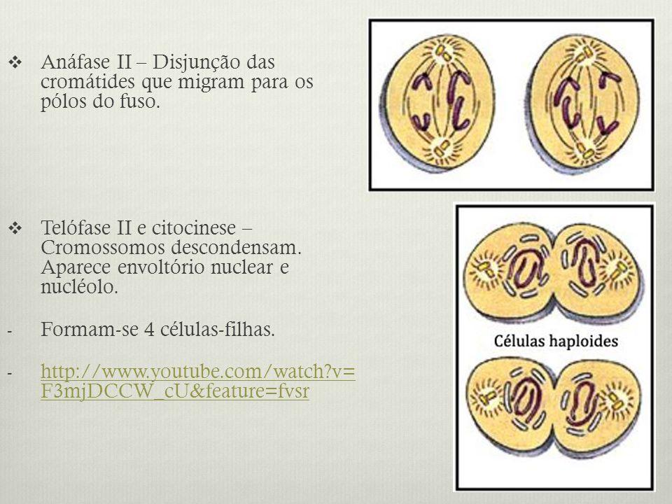 Anáfase II – Disjunção das cromátides que migram para os pólos do fuso. Telófase II e citocinese – Cromossomos descondensam. Aparece envoltório nuclea