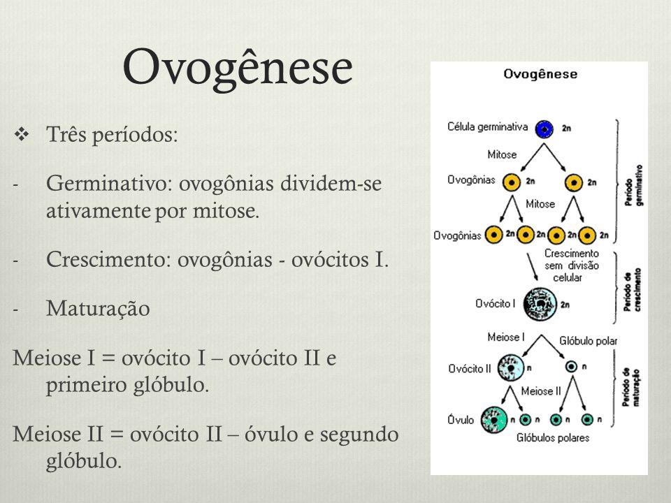 Ovogênese Três períodos: - Germinativo: ovogônias dividem-se ativamente por mitose. - Crescimento: ovogônias - ovócitos I. - Maturação Meiose I = ovóc