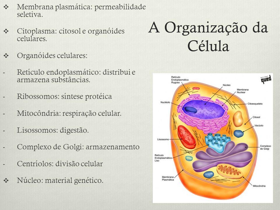A Organização da Célula Membrana plasmática: permeabilidade seletiva. Citoplasma: citosol e organóides celulares. Organóides celulares: - Retículo end