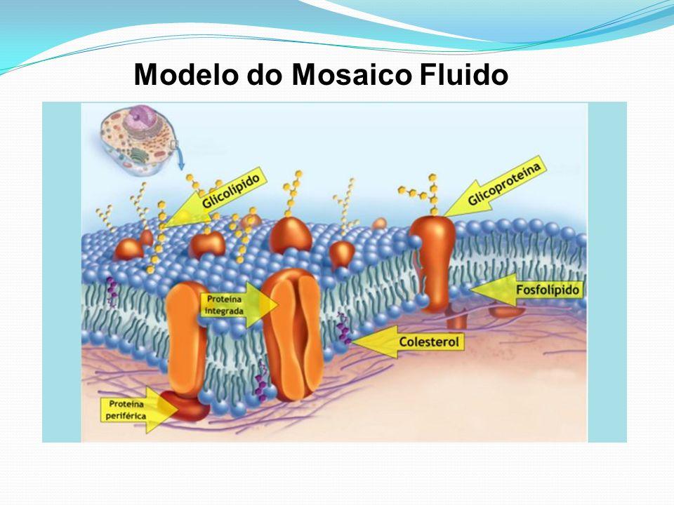 Componentes básicos da Membrana Plasmática Não se esqueça: PERMEABILIDADE SELETIVA Modelo do Mosaico Fluido