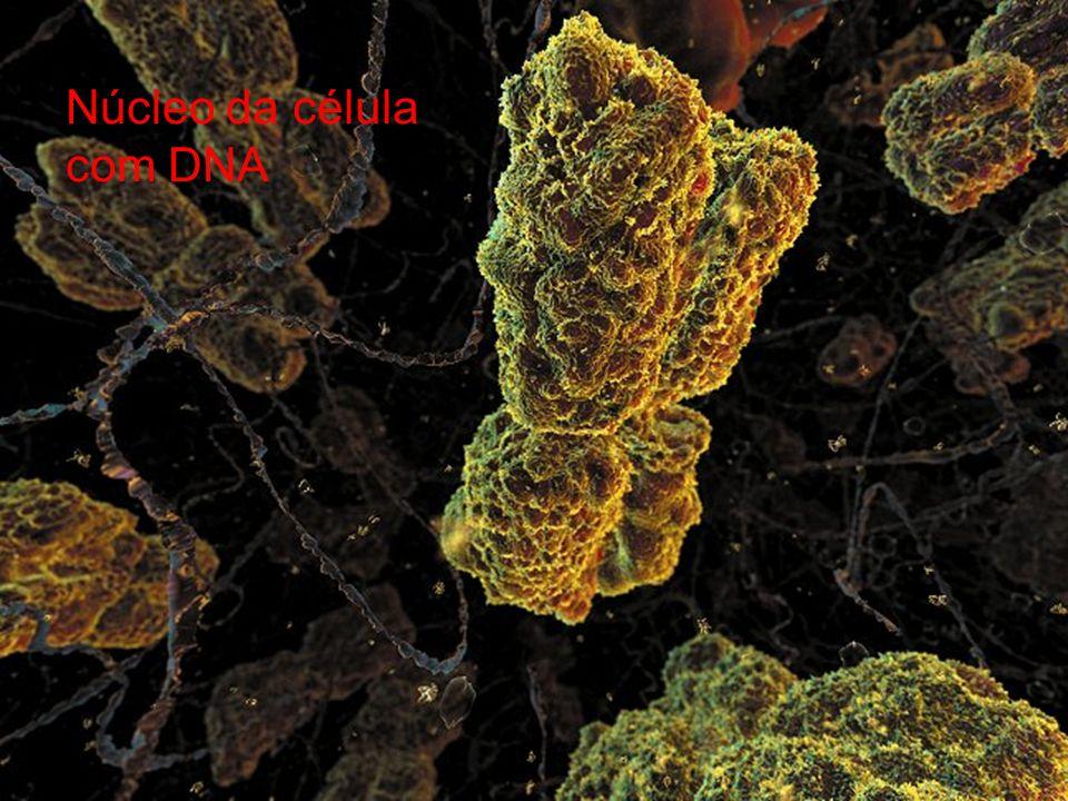 Principais características dos componentes básicos da célula Núcleo Contém a informação genética da célula. Processo de divisão celular. Possui uma me