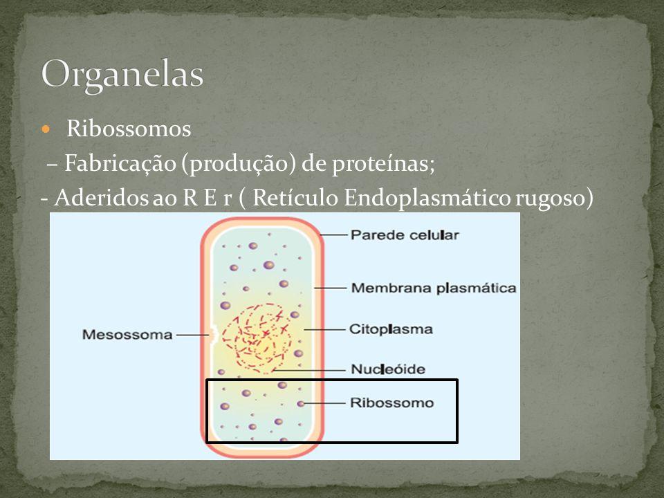 Ribossomos – Fabricação (produção) de proteínas; - Aderidos ao R E r ( Retículo Endoplasmático rugoso)