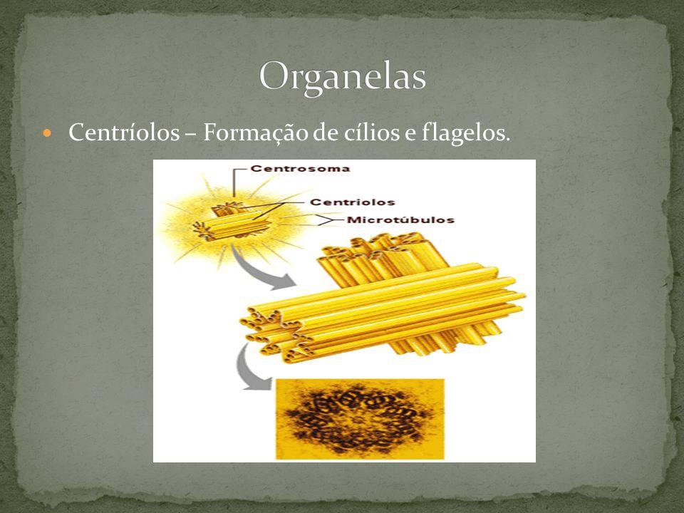 Centríolos – Formação de cílios e flagelos.
