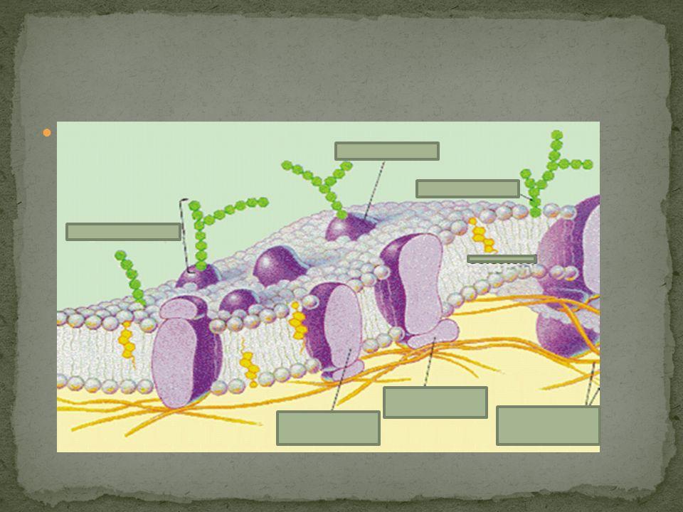situa-se entre a membrana plasmática e o núcleo; Maior porção da célula; Água e proteína são os componentes mais abundantes; Nele é encontrado vários corpúsculos/organelas ( pequenos órgãos)