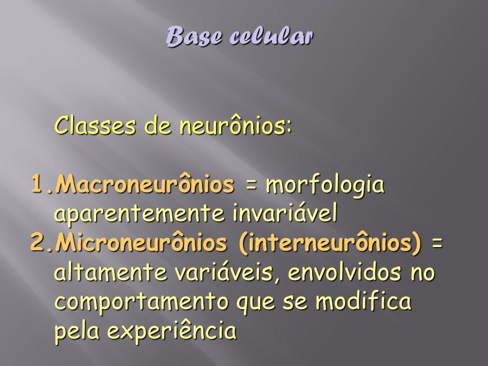 Classes de neurônios: 1.Macroneurônios = morfologia aparentemente invariável 2.Microneurônios (interneurônios) = altamente variáveis, envolvidos no co