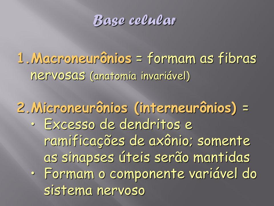 1.Macroneurônios = formam as fibras nervosas (anatomia invariável) 2.Microneurônios (interneurônios) = Excesso de dendritos e ramificações de axônio;