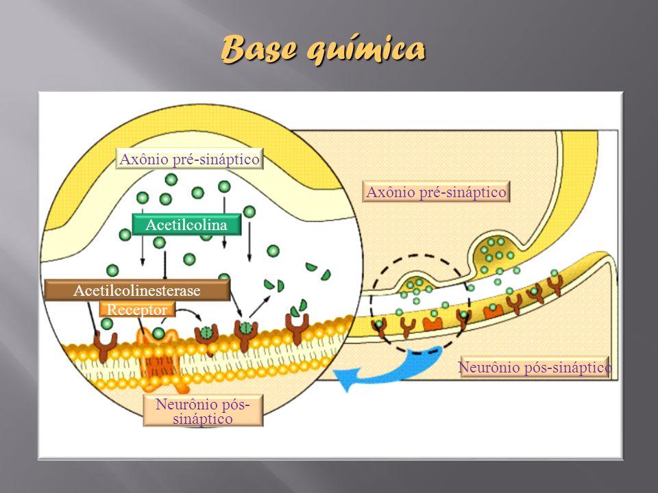 Base química Axônio pré-sináptico Neurônio pós-sináptico Neurônio pós- sináptico Acetilcolina Acetilcolinesterase Receptor