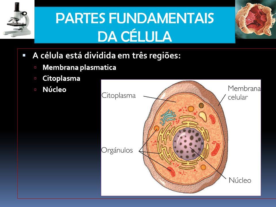 PARTES FUNDAMENTAIS DA CÉLULA A célula está dividida em três regiões: Membrana plasmatica Citoplasma Núcleo