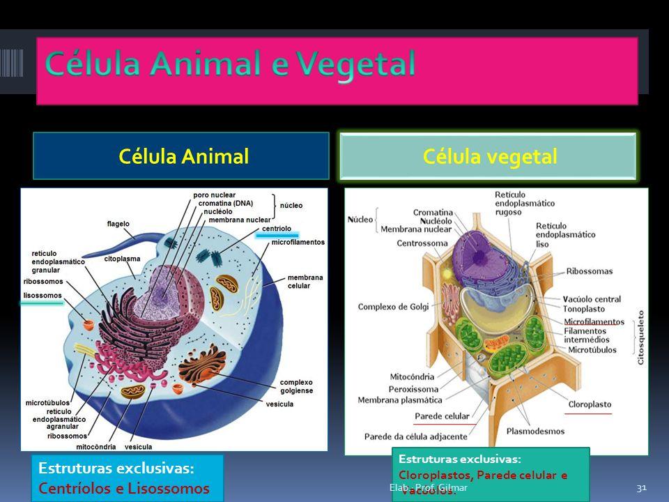 Célula Animal Célula vegetal Estruturas exclusivas: Cloroplastos, Parede celular e Vacúolos. Estruturas exclusivas: Centríolos e Lisossomos 31 Elab.: