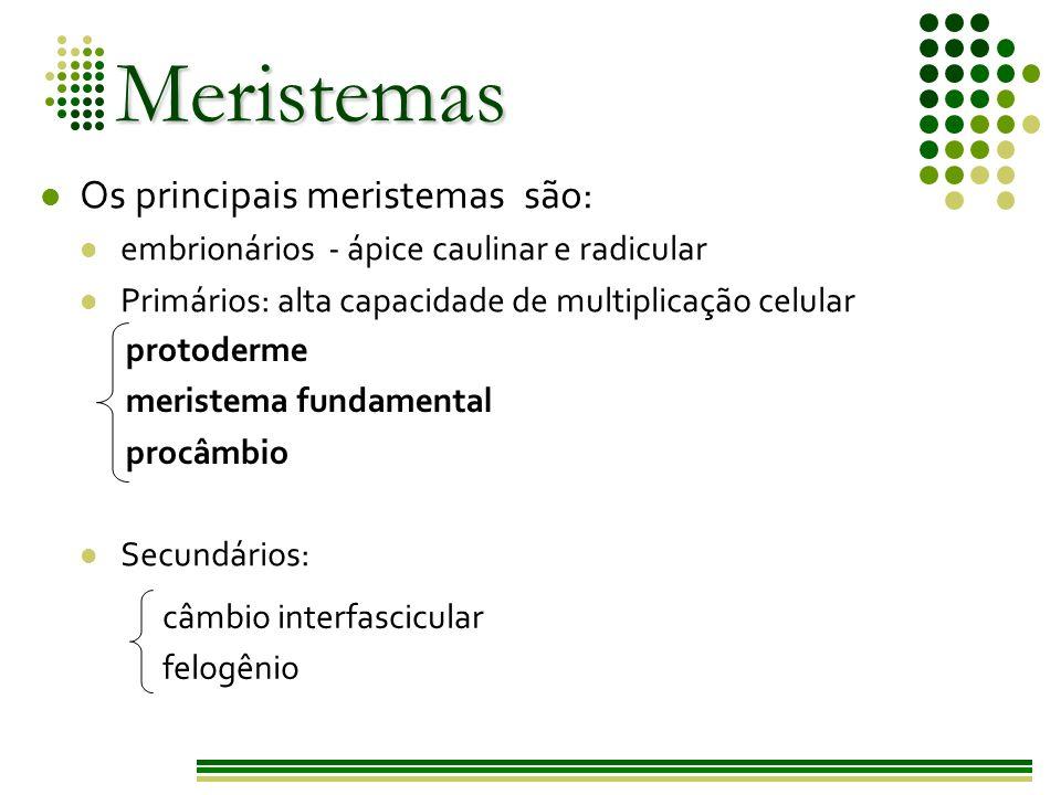 Meristemas Primários Formados por células embrionárias, que mantêm as características meristemáticas.