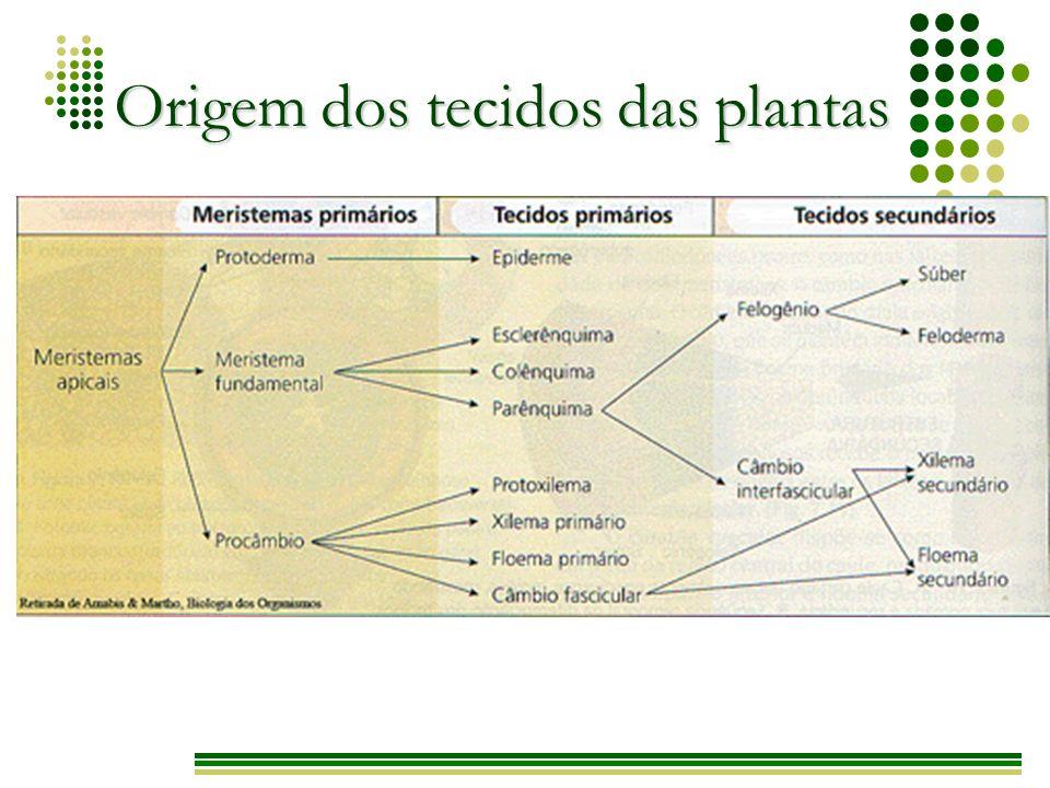 Parênquimas Tecidos localizados entre a epiderme e os tecidos condutores.