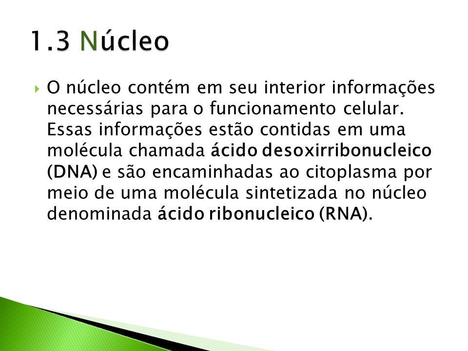 O núcleo contém em seu interior informações necessárias para o funcionamento celular. Essas informações estão contidas em uma molécula chamada ácido d