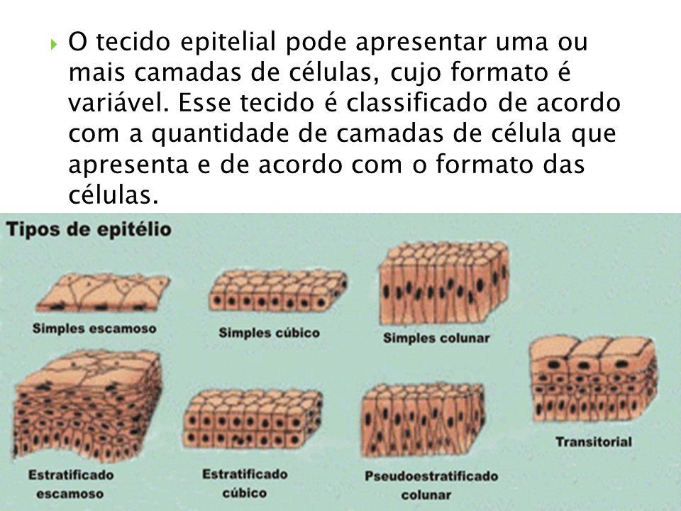 O tecido epitelial pode apresentar uma ou mais camadas de células, cujo formato é variável. Esse tecido é classificado de acordo com a quantidade de c
