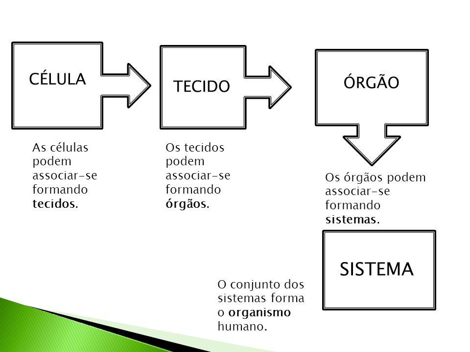 Sistema Endócrino: Regulação de atividades corporais, por meio da liberação de certas substâncias que controlam e regulam outros órgãos e tecidos.
