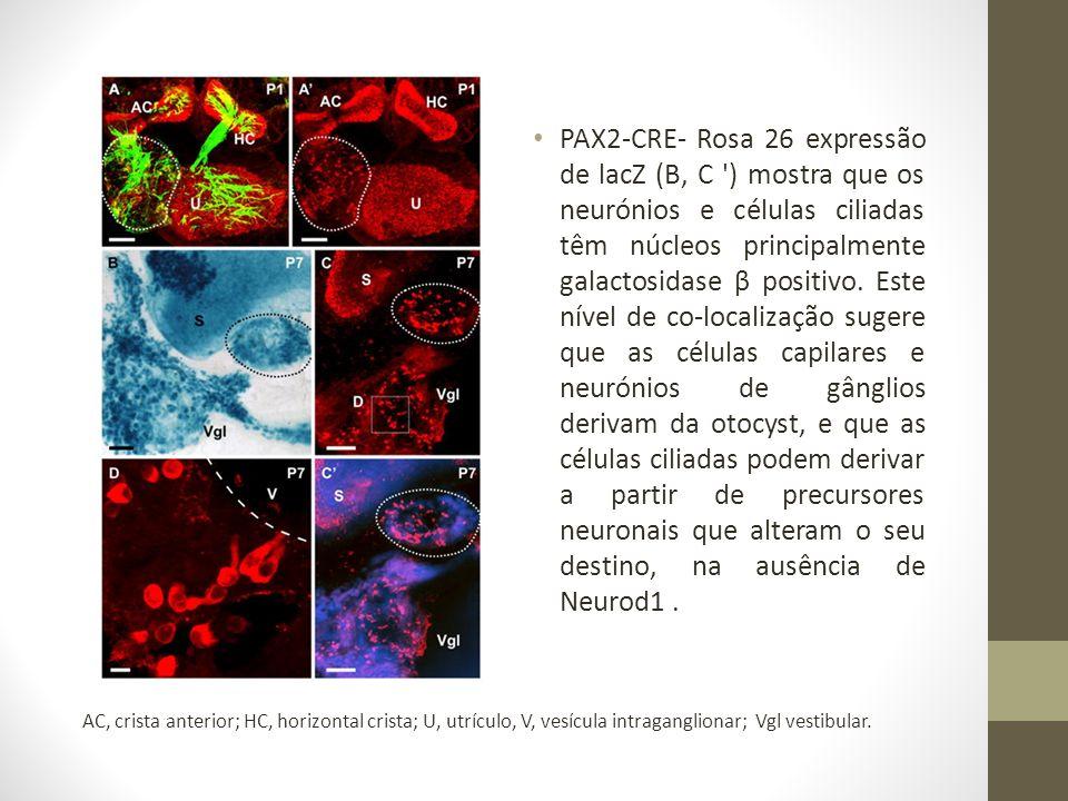 PAX2-CRE- Rosa 26 expressão de lacZ (B, C ) mostra que os neurónios e células ciliadas têm núcleos principalmente galactosidase β positivo.