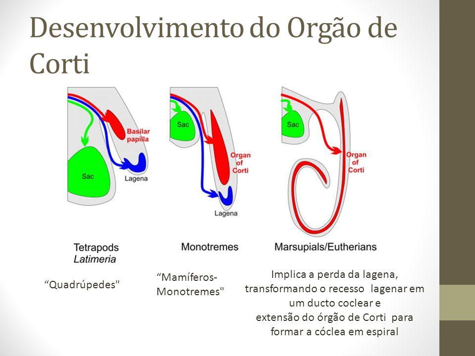 Desenvolvimento do Orgão de Corti Quadrúpedes Mamíferos- Monotremes Implica a perda da lagena, transformando o recesso lagenar em um ducto coclear e extensão do órgão de Corti para formar a cóclea em espiral