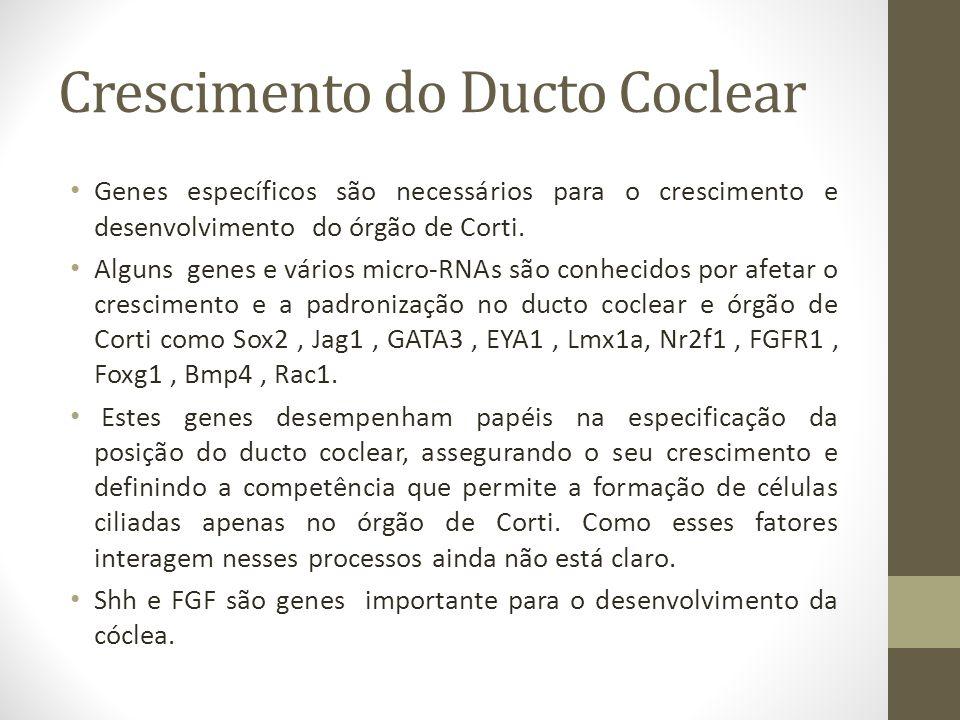 Crescimento do Ducto Coclear Genes específicos são necessários para o crescimento e desenvolvimento do órgão de Corti.