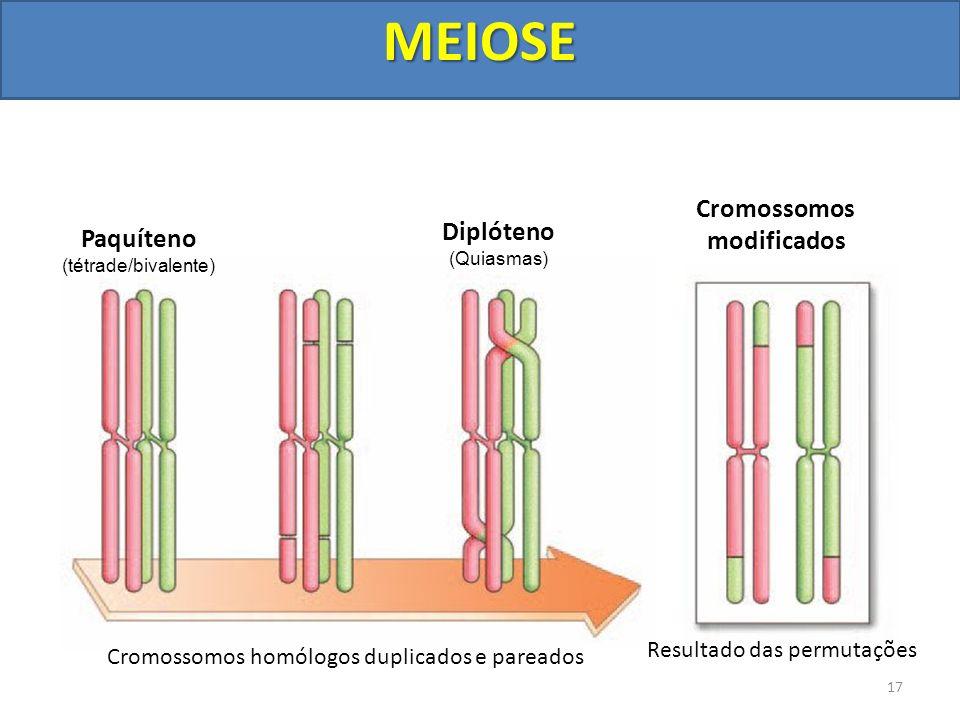 Cromossomos homólogos duplicados e pareados Resultado das permutações Paquíteno (tétrade/bivalente) Diplóteno (Quiasmas) Cromossomos modificados 17MEI