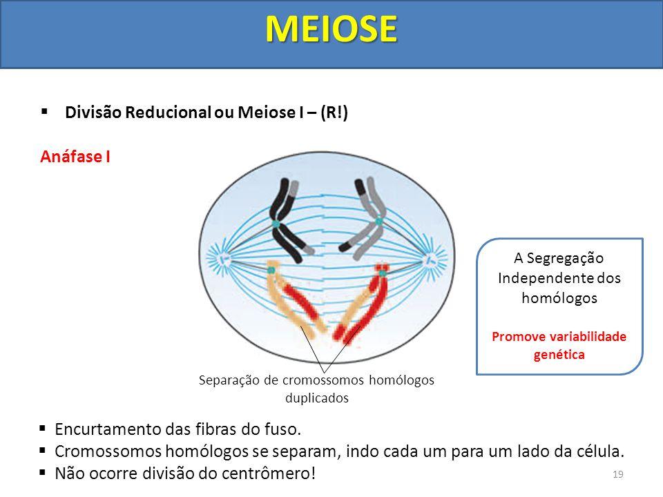 Divisão Reducional ou Meiose I – (R!) Anáfase I Encurtamento das fibras do fuso. Cromossomos homólogos se separam, indo cada um para um lado da célula