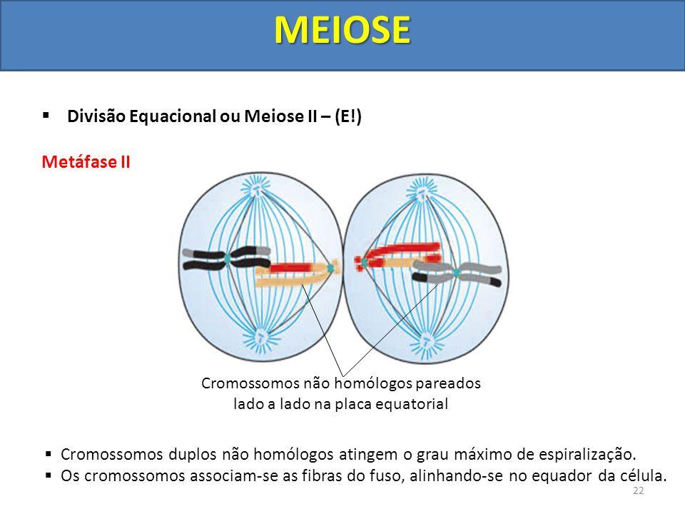 Divisão Equacional ou Meiose II – (E!) Metáfase II Cromossomos duplos não homólogos atingem o grau máximo de espiralização. Os cromossomos associam-se