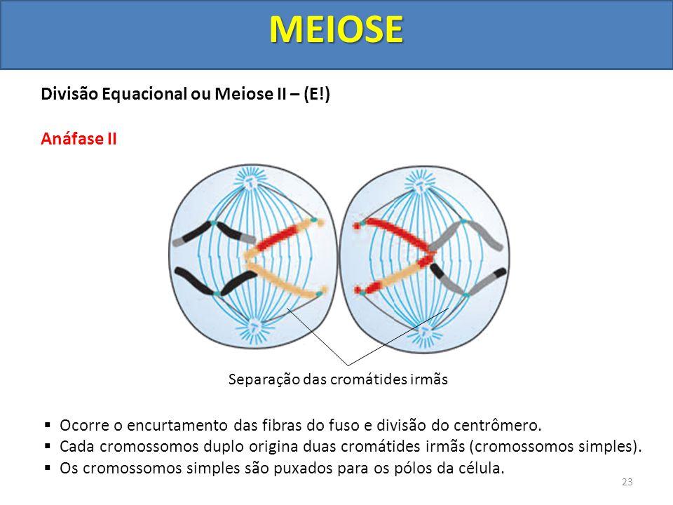 Divisão Equacional ou Meiose II – (E!) Anáfase II Ocorre o encurtamento das fibras do fuso e divisão do centrômero. Cada cromossomos duplo origina dua