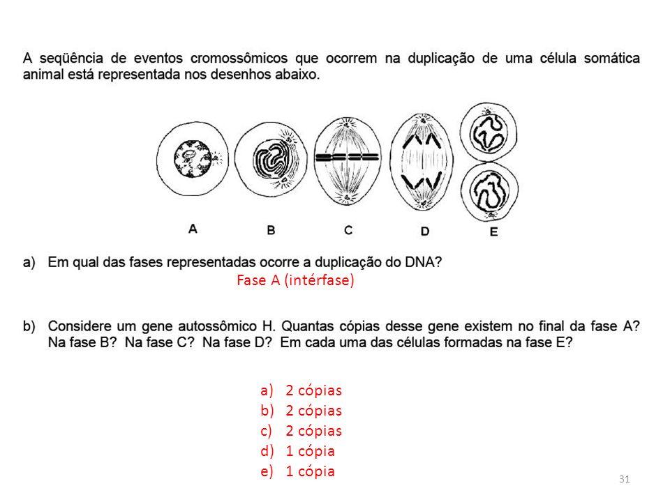 INTERFASE QUE PRECEDE A DIVISÃO Fase A (intérfase) a)2 cópias b)2 cópias c)2 cópias d)1 cópia e)1 cópia 31