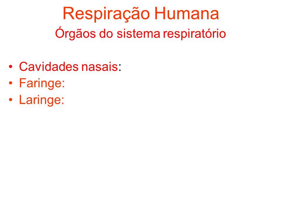Respiração Humana Órgãos do sistema respiratório Cavidades nasais: Faringe: Laringe:
