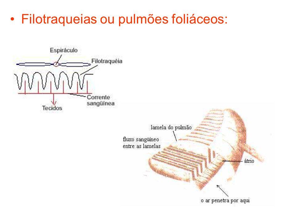 Filotraqueias ou pulmões foliáceos: